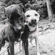 BCdogs